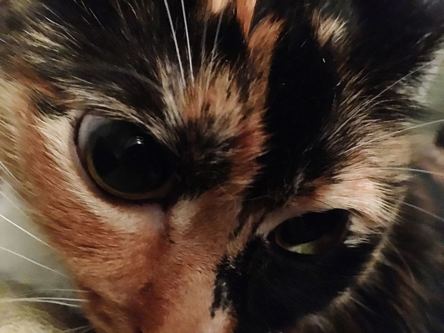 Close-up My Cat Pets Calico One Animal Portrait Extreme Close Up Whisker