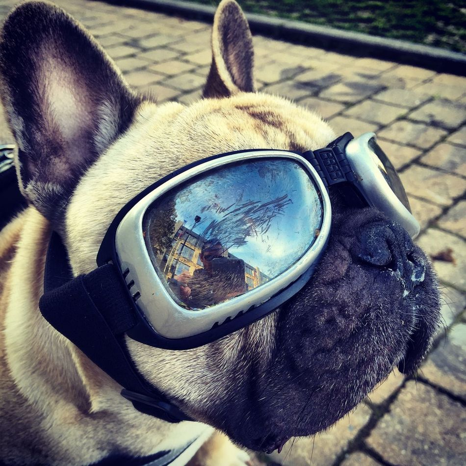 This is Mazzo. A lazy, crazy, funny, loving and blind French bulldog. Mazzo Frenchbulldog Blind Dog