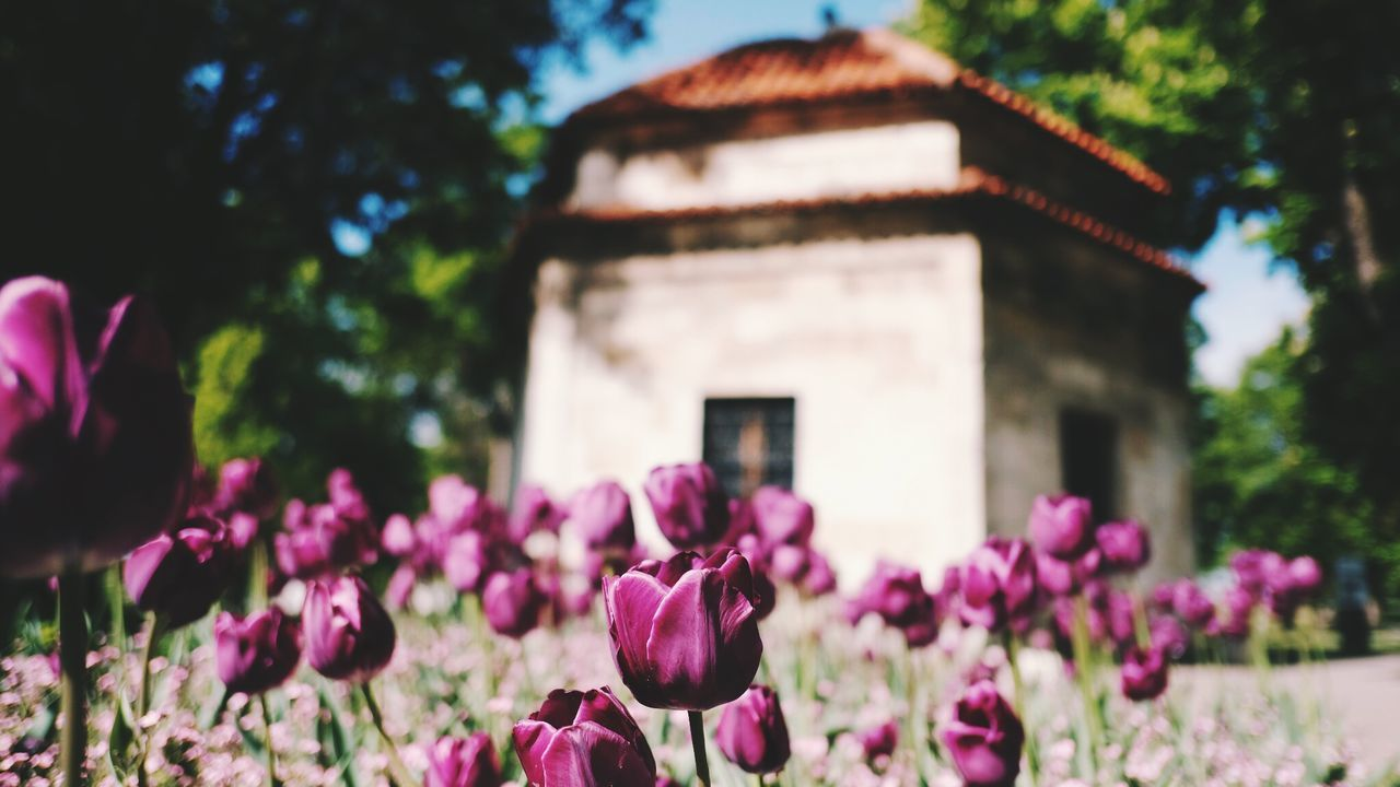 flower, nature, fragility, beauty in nature, growth, freshness, focus on foreground, pink color, petal, no people, plant, architecture, day, built structure, outdoors, purple, building exterior, blooming, tree, close-up, flower head