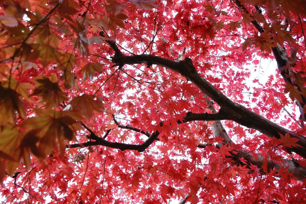 branch, tree, autumn, red, low angle view, change, season, nature, leaf, full frame, beauty in nature, growth, backgrounds, tranquility, bare tree, no people, outdoors, day, close-up, maple tree