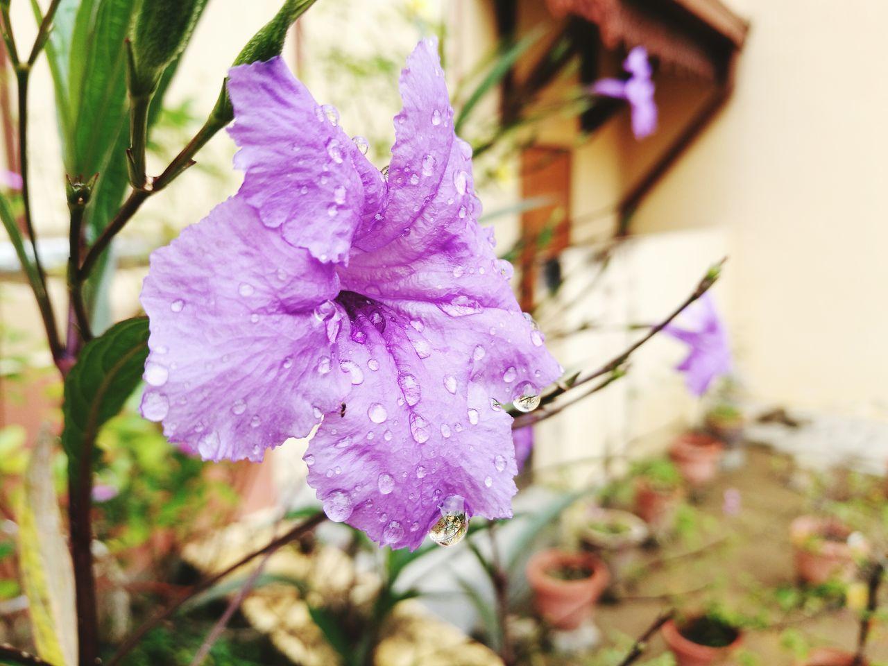 Flower Nature Purple Fragility Beauty In Nature Freshness Flower Head Rain Drops On Leaves
