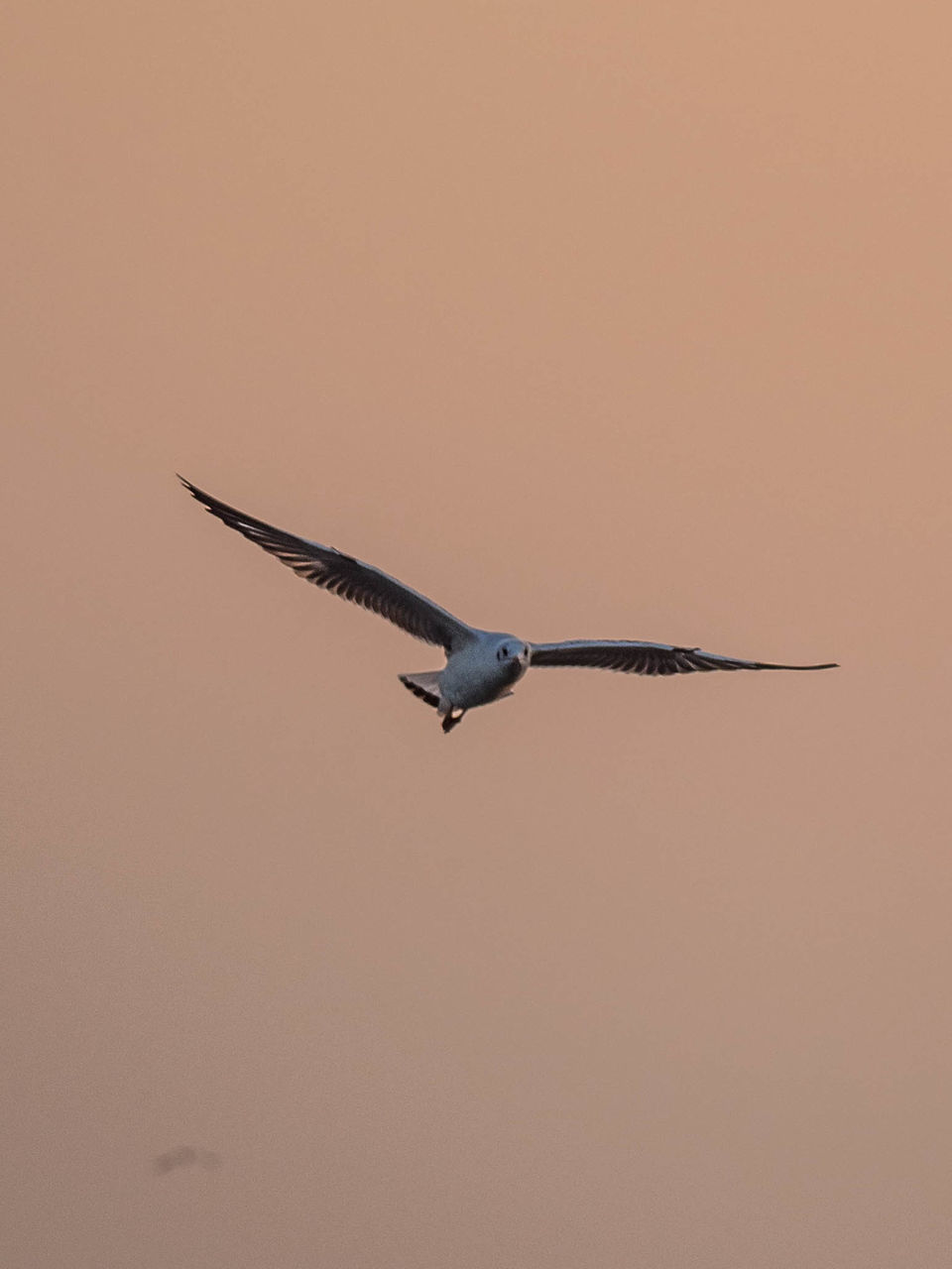 flying, mid-air, one animal, bird, animals in the wild, animal themes, spread wings, sunset, no people, clear sky, day, nature, outdoors, sky