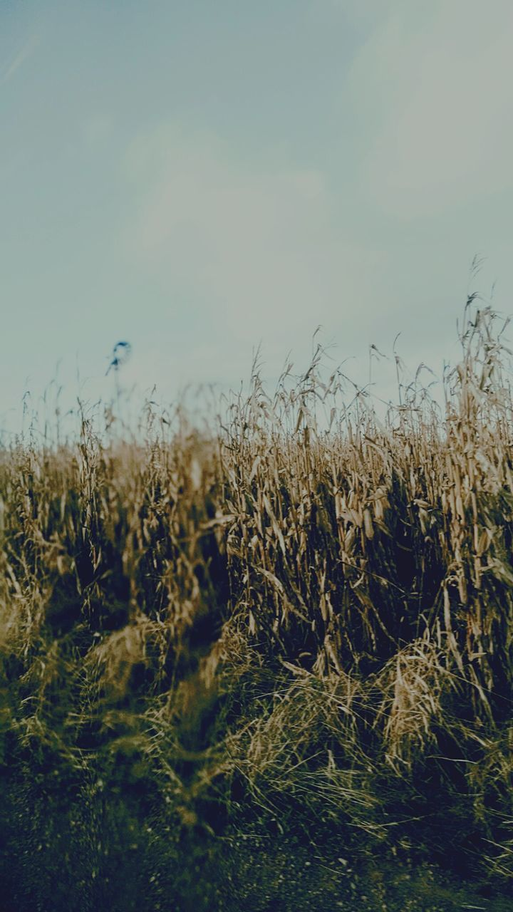 growth, nature, field, agriculture, plant, crop, no people, tranquility, beauty in nature, outdoors, day, cereal plant, wheat, landscape, sky, rural scene, grass, close-up