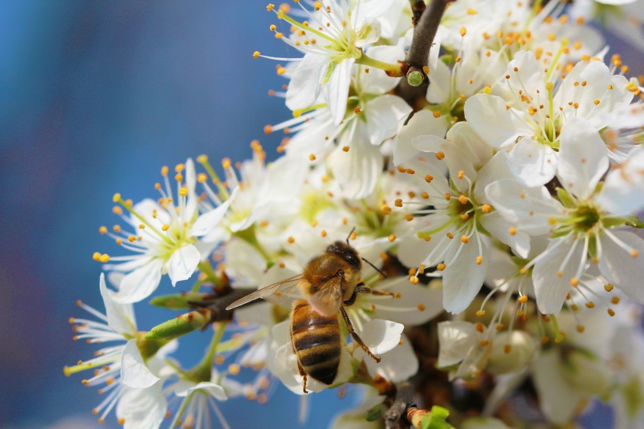 Beautiful stock photos of bee, Abundance, Animal Themes, Animals In The Wild, Apple Blossom