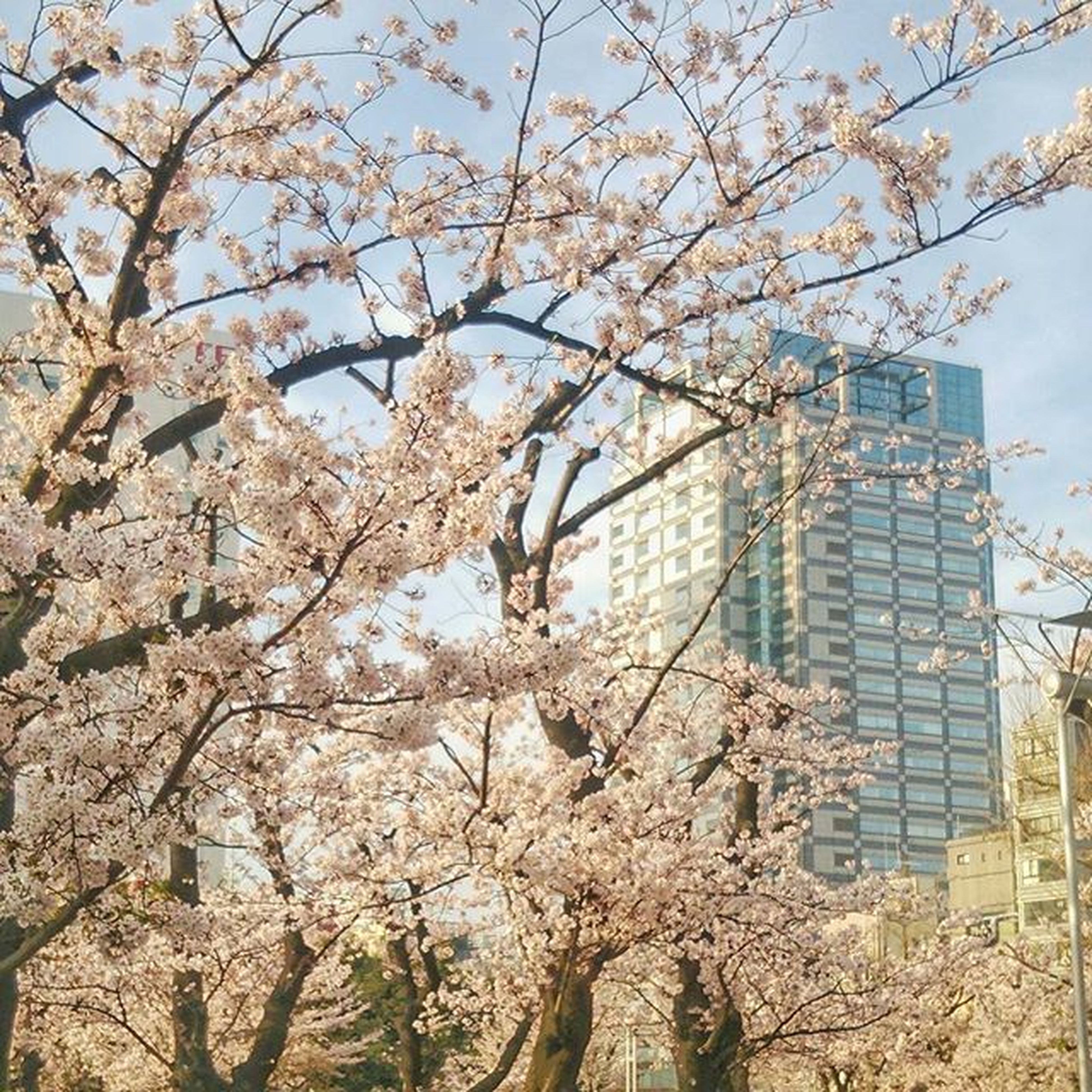flower, tree, branch, building exterior, architecture, built structure, low angle view, cherry blossom, growth, freshness, blossom, fragility, cherry tree, city, nature, in bloom, springtime, sky, day, white color