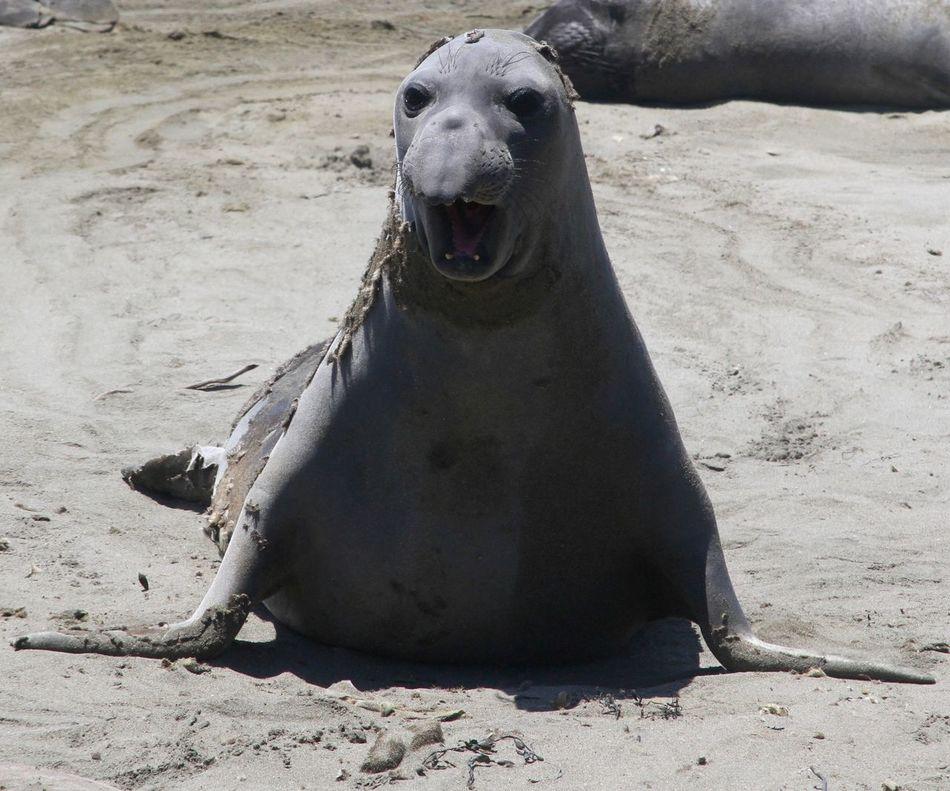 No Way! Animal Animal Themes Beach Beach Photography California Coast Elephant Seal Elephant Seals Nature Nature Photography Nature_collection No People Outdoors Sand Sealife Seals On Beach Seals On The Sea Shore Zoology