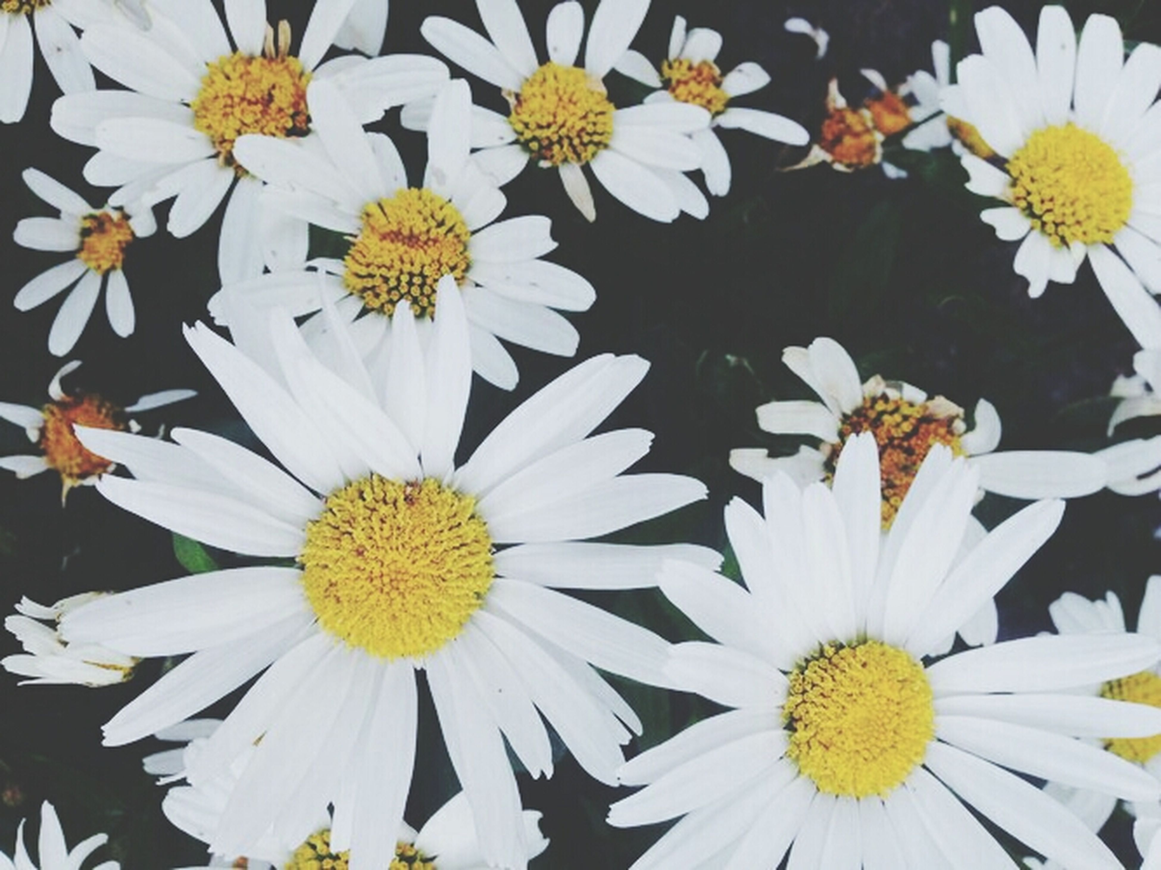 flower, petal, freshness, flower head, fragility, yellow, daisy, pollen, beauty in nature, white color, blooming, nature, growth, high angle view, plant, close-up, no people, in bloom, day, outdoors