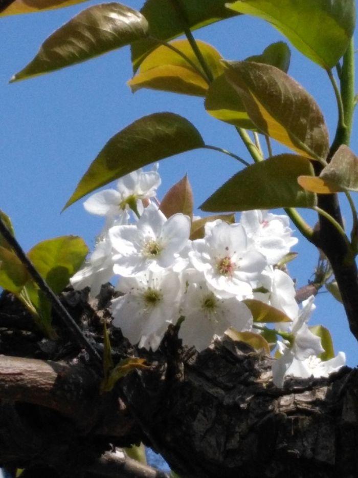 Pear Flowers 梨の花