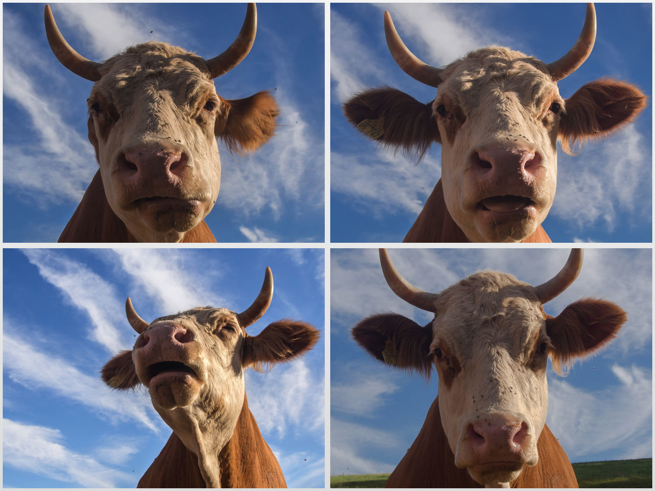 livestock, mammal, domestic animals, animal themes, horned, cattle, domestic cattle, cow, looking at camera, portrait, animal head, one animal, day, no people, outdoors, domesticated animal tag, nature, close-up, multiple image, sky