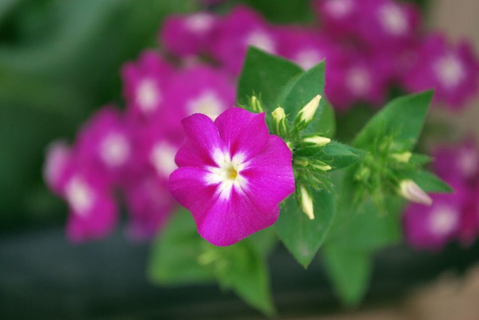 Beauty In Nature Blooming Close-up Flower Focus On Foreground Hanging Out Nature <3  Pink Color Sunnyday☀️ Taking Photos - at Gurgaon India