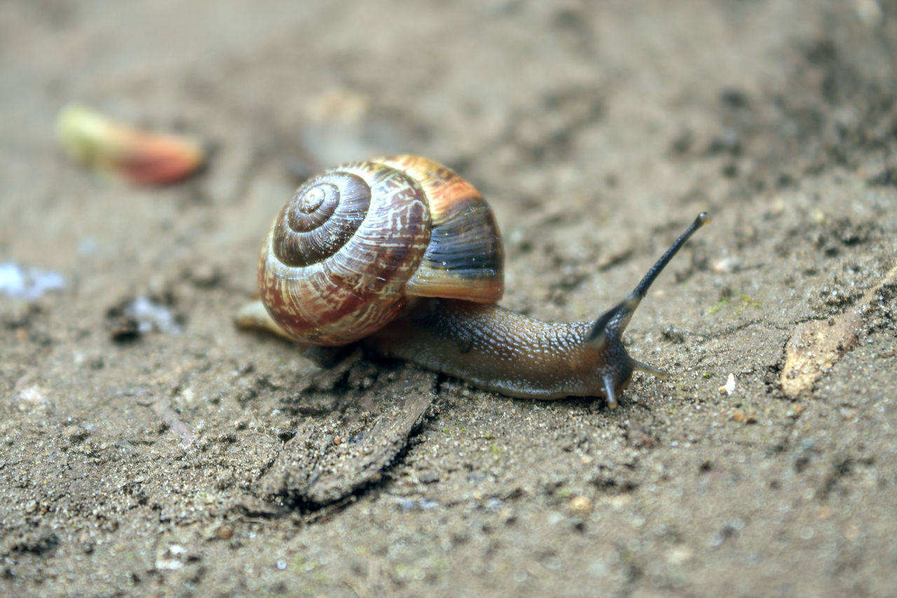 snail, one animal, animal themes, gastropod, animal shell, animals in the wild, wildlife, outdoors, nature, close-up, slimy, day, no people, fragility, slug