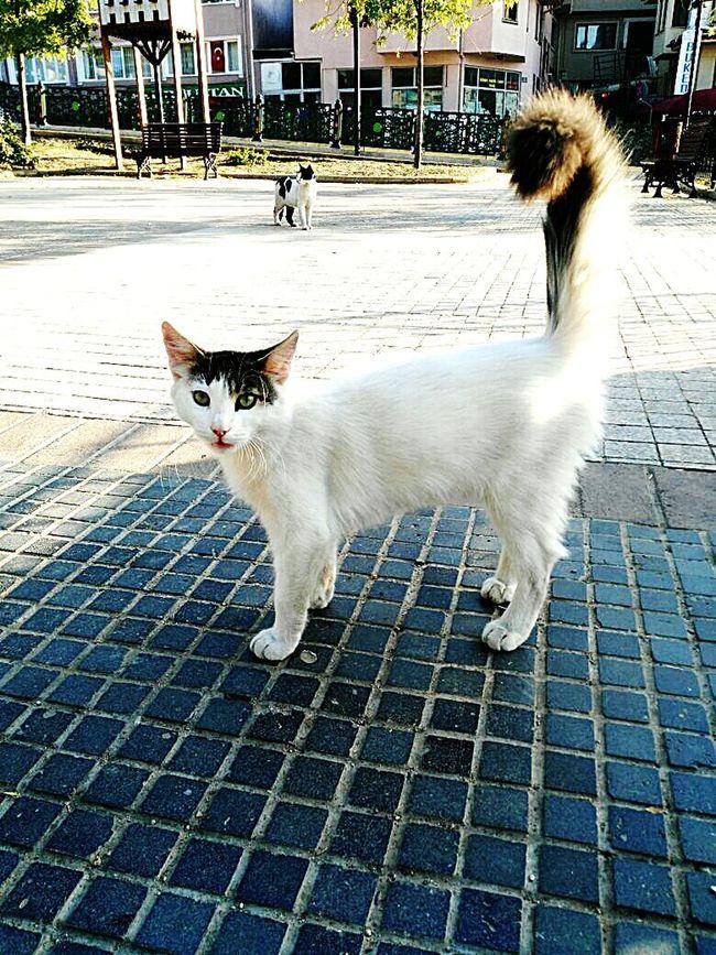 Animal Themes Pets Domestic Animals One Animal Domestic Cat Mammal Cat Street Walking Feline Looking At Camera Alertness Carnivora Day Whisker Outdoors Footpath