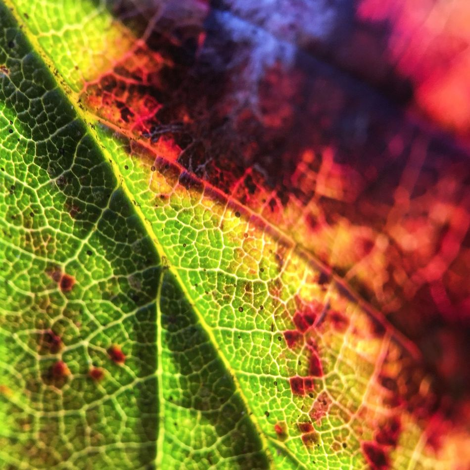 Bruised and battered. P222 Back in internet country. 4 more to come. Onephotoaday IPhoneography Moment Lens Moment Macro Macro Macro_collection Colorful Veins Leaf Leaf Vein Nature Low Angle View