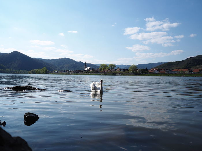 Animal Themes Animals In The Wild Beauty In Nature Bird Danube Danube River Day Lake Mammal Mountain Nature No People One Animal Outdoors Scenics Sky Swan Swimming Tranquility Water Waterfront
