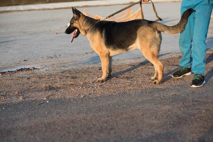 Bambi Alsatian Animal Themes Day Dog Domestic Animals German Shepherd Leash Mammal One Animal Outdoors Pets Walking