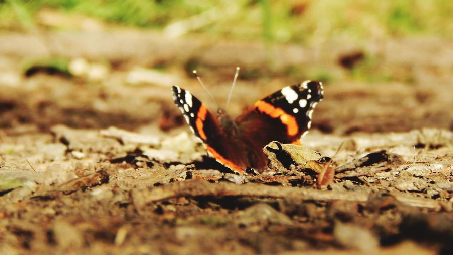 Butterfly Butterflies Nature Nature_collection Nature Photography Hobbyphotography Hobby