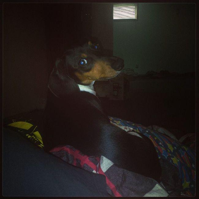Sleepingonpeople Dogsofinstagram Wienerdog Weirddogsofinstagram