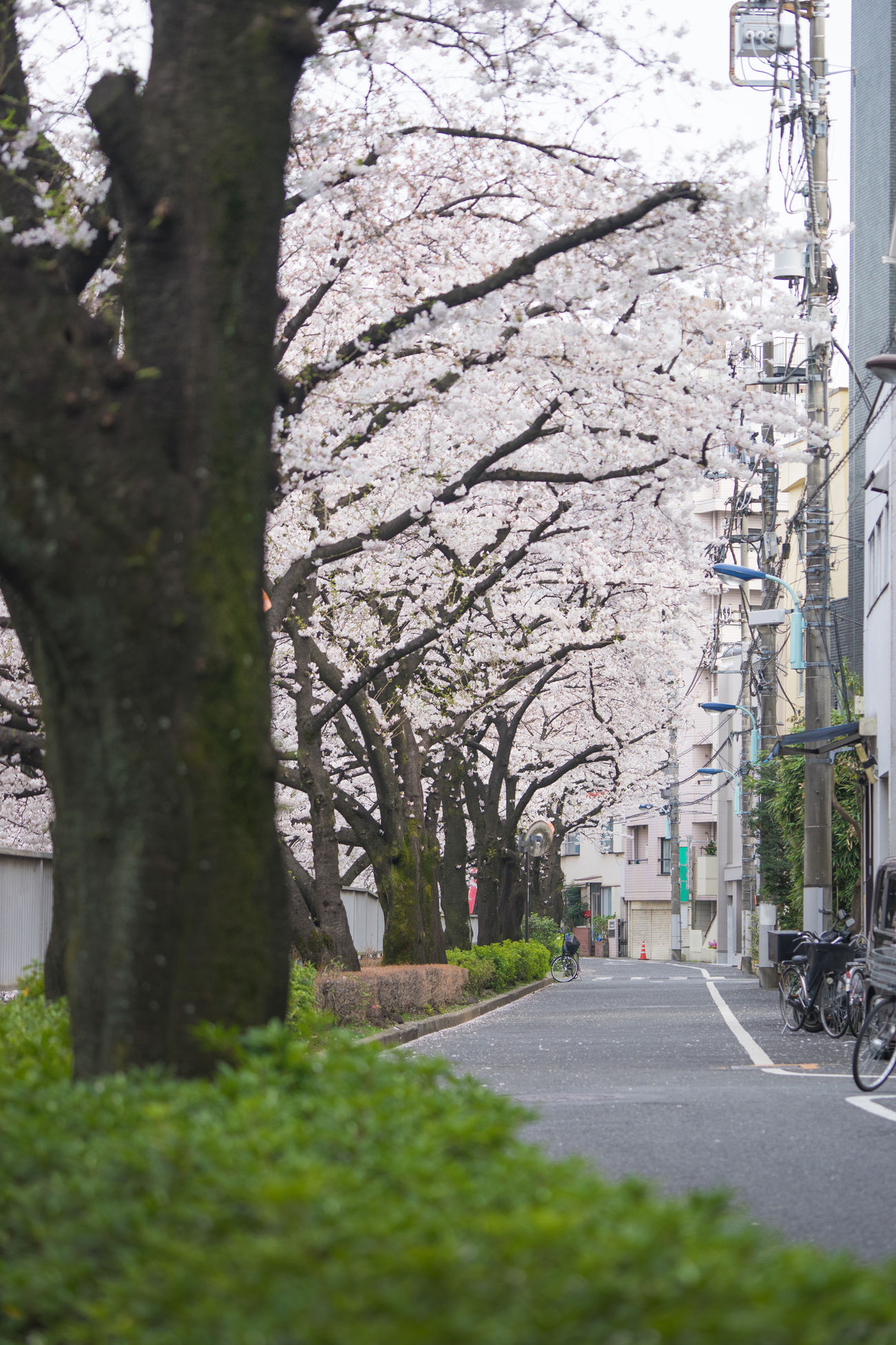 Sakura Way Architecture Beauty In Nature Branch Building Exterior Built Structure Cherry Blossom Cherry Blossoms City Day Flower Fragility Growth Japan Japan Photography Japanese  Nature No People Outdoors River Road Sakura The Way Forward Transportation Tree Waseda