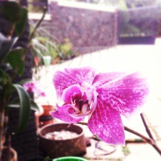 Anggrek bulan Bandungjuara VSCO Vscocam Indonesianflower
