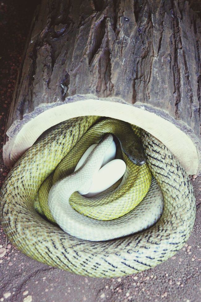 Animal Animals Animal Photography Animal Love Breeding Breed BreedingTime Zoo Zoology Zoo Animals  Zooanimals Zoophotography ZOO-PHOTO ZooLife Taipan Venomous Venom Venomoussnake Venomous Snake Venomous Snakes Snake