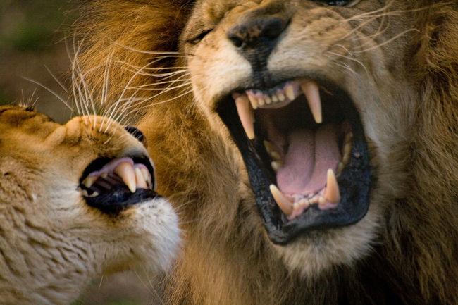 Animal Animal Head  Animal Themes Cat Fiercefelines Lions Male Lion Zoology