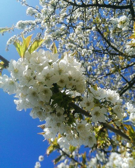 Kirschblüten  Baum Naturelovers Nature Germany Special_shots EyeEm Nature Lover Nahaufnahme Tree Flower