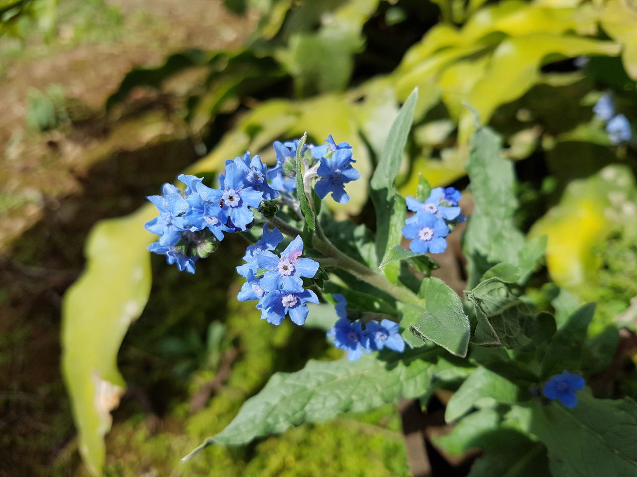 Forget me not... Taking Photos Check This Out Hello World Relaxing Enjoying Life Nature Galaxys7 EyeEm Nature Lover Colours Blue Flower Flower Photography Flowers,Plants & Garden Secret Garden Blue Flowers Barbacena Minas Gerais-Brazil Forget Me Not