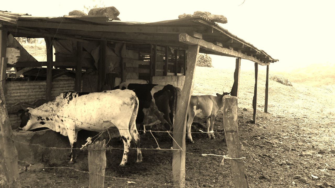 Old Classic Check This Out Hanging Out Old Fashion Farm Animals Farm Tranquility Guacima Costa Rica