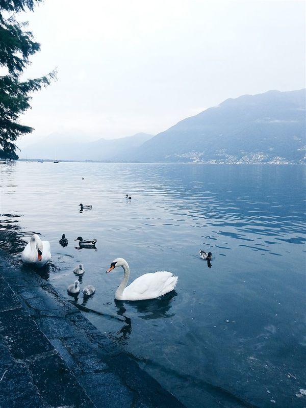 Family. Cigni Cigno Swan Swans Lago Lake Lake View Lago Maggiore Lagomaggiore Svizzera Lugano Lugano, Switzerland Luganolake Lago Di Lugano  Family Little Family Babyswan First Eyeem Photo