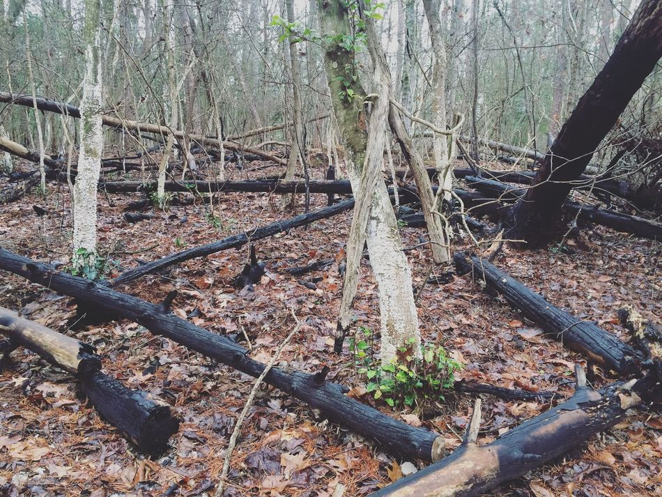 Black burnt trees next to white fungus covered trees. North Carolina Landscape Nature Hiking Winter