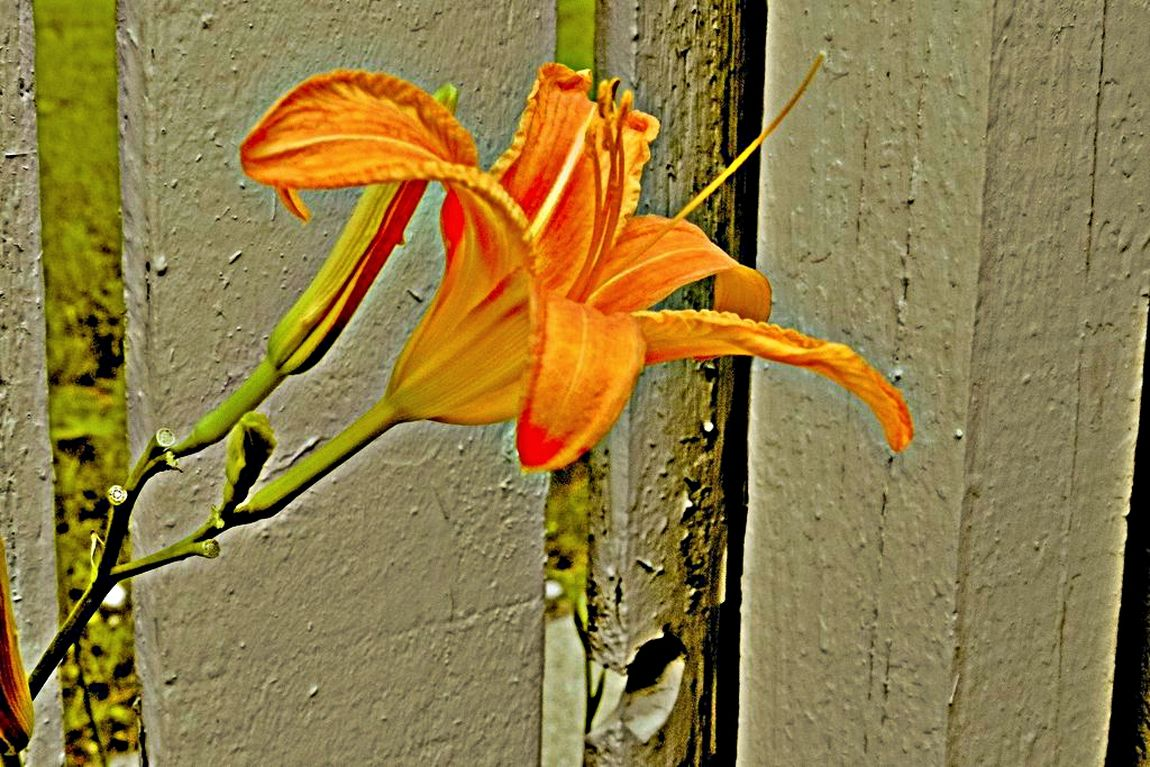 Near the Fence Beauty In Nature Blooming Blossom Botany Close-up Day Daylily Flower Flower Head Focus On Foreground Fragility Freshness Growing Growth In Bloom Nature Orange Color Orange Daylily Orange Flower Outdoors Petal Plant Pollen Stem Yellow