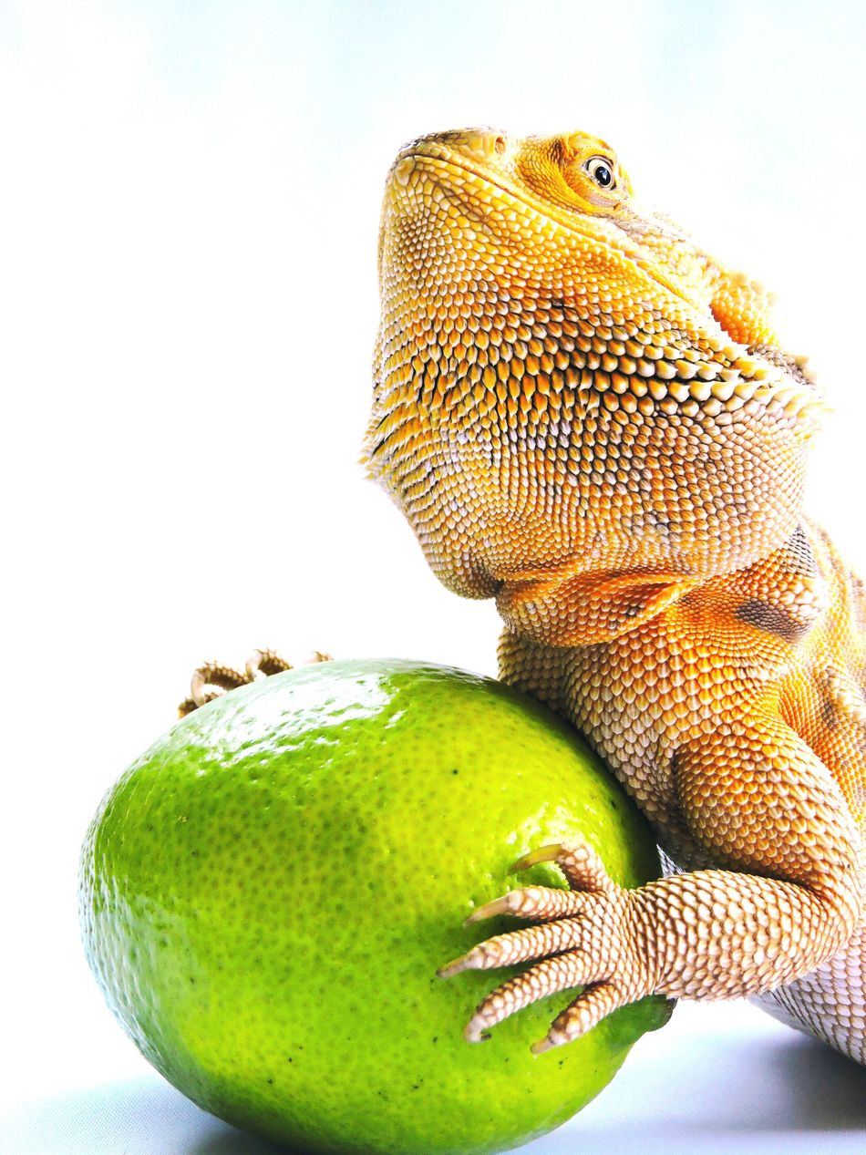 Bearded Dragon White Background Fruit Studio Shot One Animal Healthy Eating Green Color Close-up Food And Drink No People Food Animal Themes Freshness Reptile Nature Day Close Up Advertising Fresh Fruit Healthy Colour Yellow Orange Green Vibrant Color