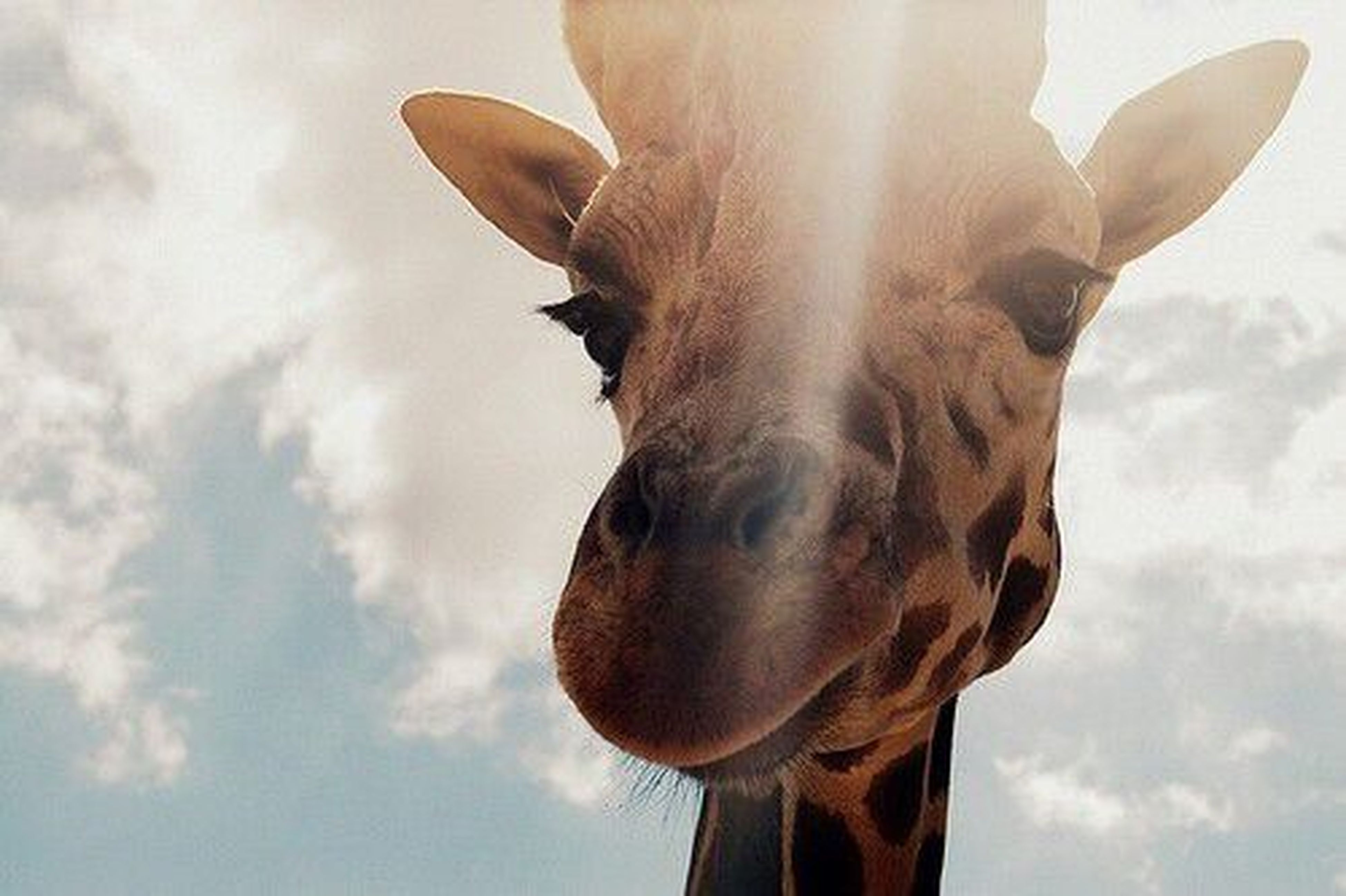 It is The Giraffe Week in our QQ Group named Taylor Swift ! All thanks to Crowty!