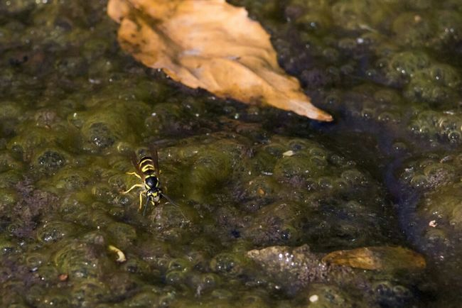 Yum, scum soup Drinking Drink Macro Insect Insects  Macro Photography Stream Wasp Scum Nature