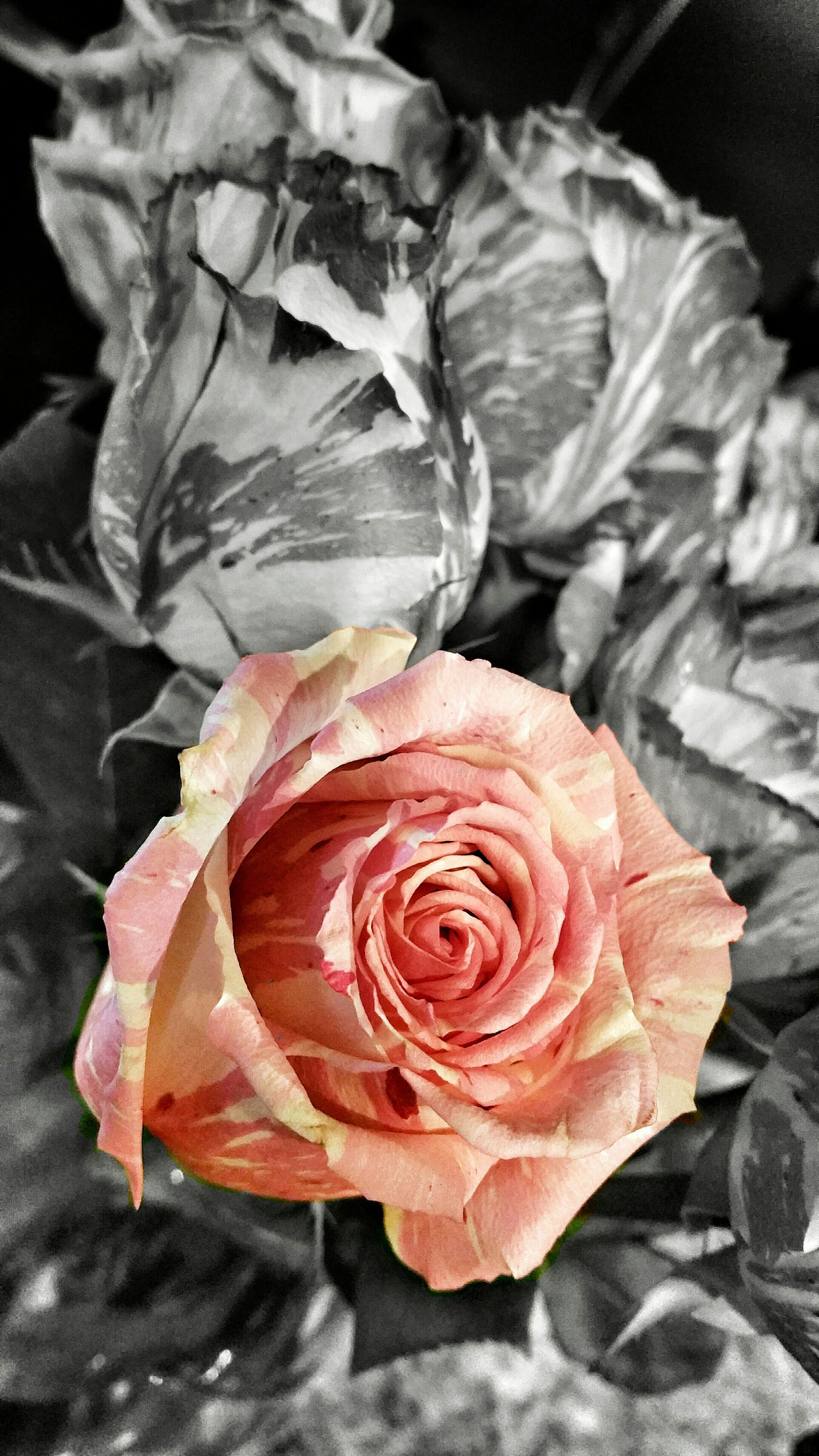 flower, petal, rose - flower, flower head, fragility, close-up, freshness, beauty in nature, single flower, rose, nature, focus on foreground, natural pattern, high angle view, growth, no people, blooming, plant, day, single rose
