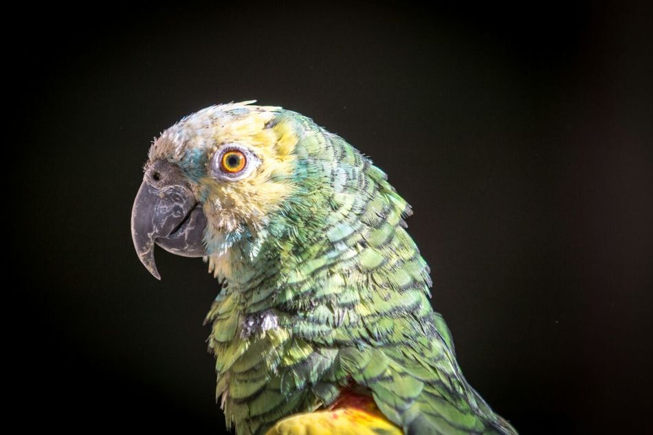 Beautiful stock photos of parrot, Animal Body Part, Animal Head, Animal Themes, Animals In The Wild