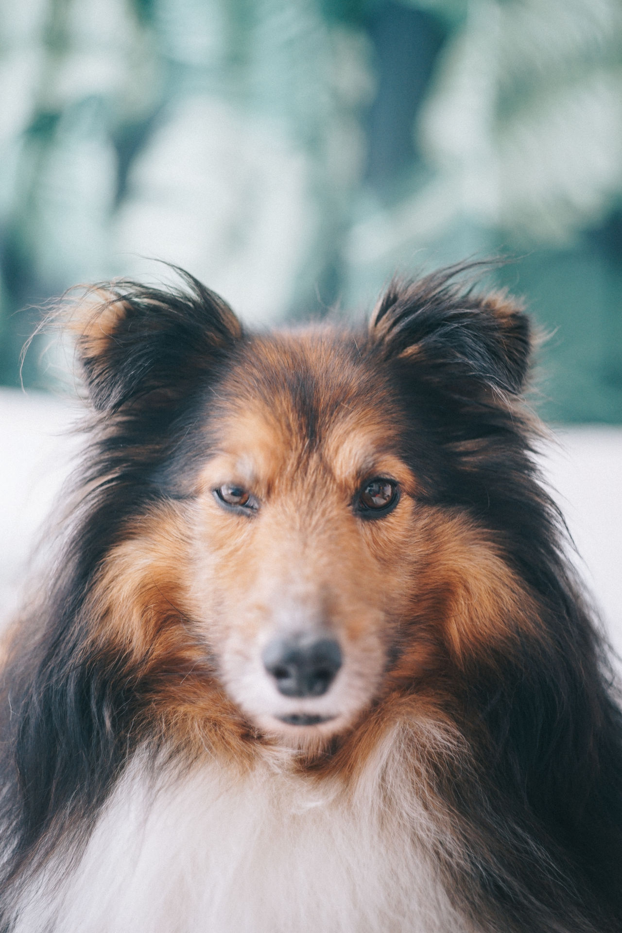 Animal Themes Close-up Day Dog Domestic Animals Focus On Foreground Mammal No People One Animal Outdoors Pets Portrait Sheepdog Sheltie