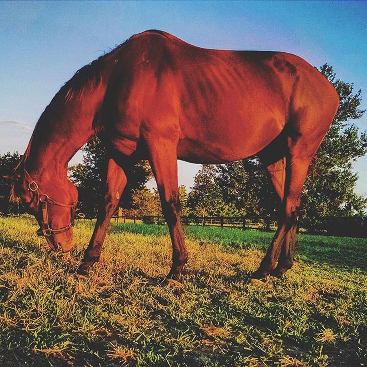 Grazing into the Sunset at RamseyFarm Selfie Thoroughbred Farms Selfies Thoroghbredracing Farm Nicholasvilleky