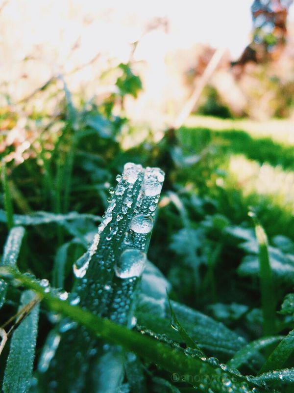 Teardrops on grass Dewdrops Frozen Dewdrops Green Grass Morning