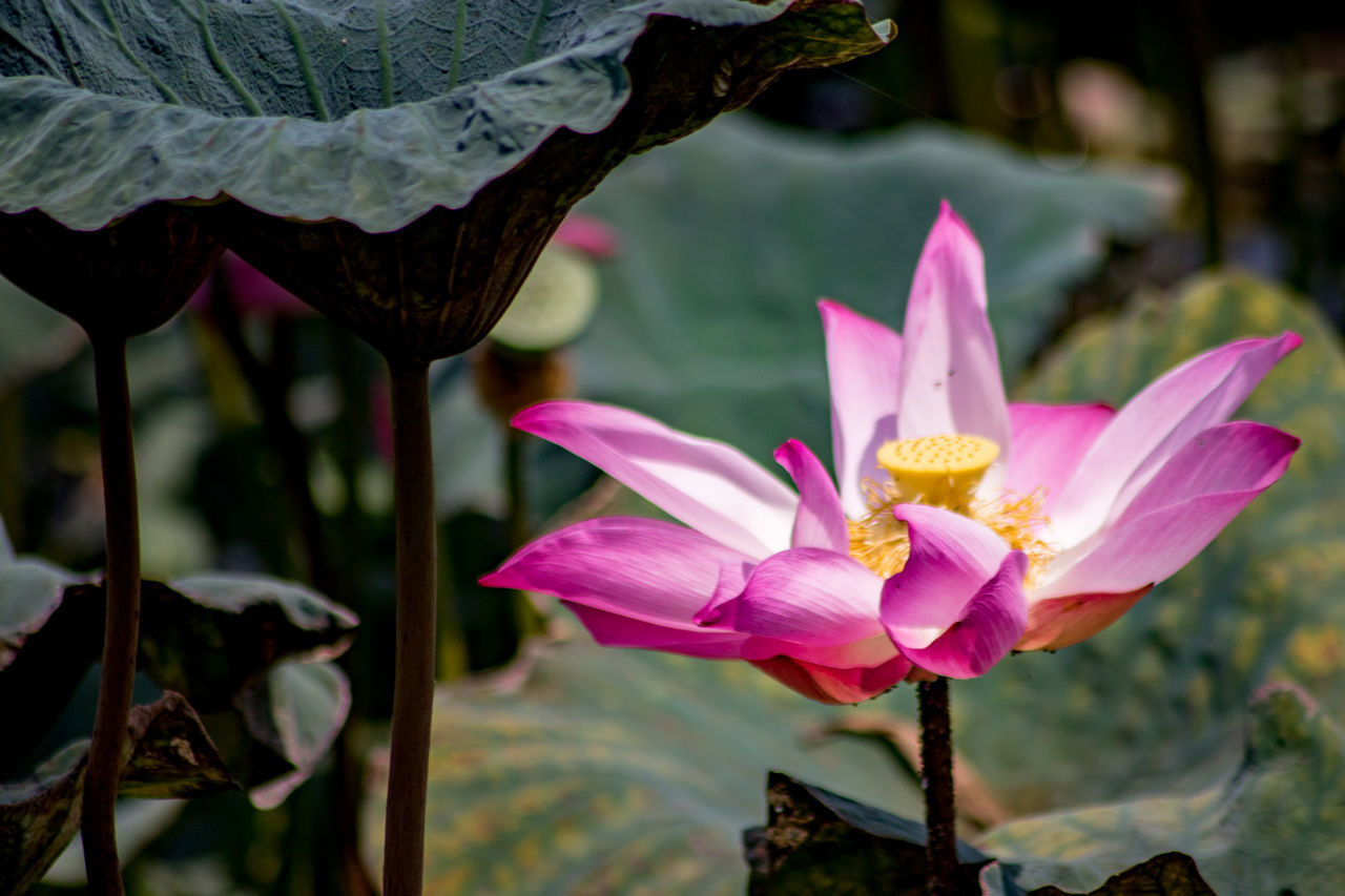 Lotus flower near a paddy field at Perak, Malaysia Beauty In Nature Blooming Close-up Day Flower Flower Head Focus On Foreground Fragility Freshness Growth ISO Isolated Leaf Lotus Nature No People Outdoors Petal Pink Color Plant Water Lily