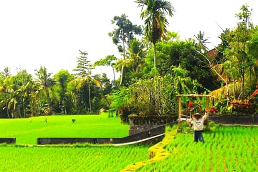 Ubud rice Rice Terraces Rice Paddy Ubud, Bali Ubudvillage Ubud Nature INDONESIA