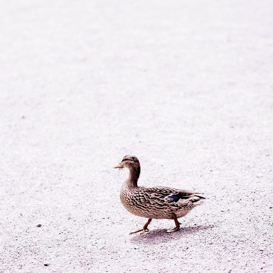 Beautiful stock photos of duck, Animal Themes, Beak, Bird, Close-Up