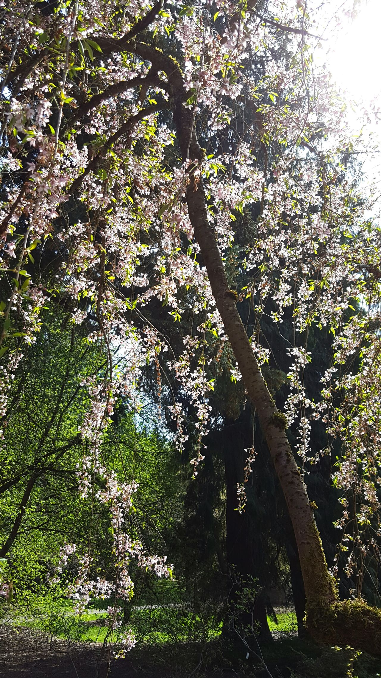 I love Spring !! Tree Trees Flowering Tree Blossoms  Blossoming Tree Springtime Spring Has Sprung Hanging Vines Sunlit Soft Colors  Flowers Naturelovers Nature Pretty Sunlight Beautiful Nature EyeEm Nature Lover Trailing Plant Lacey