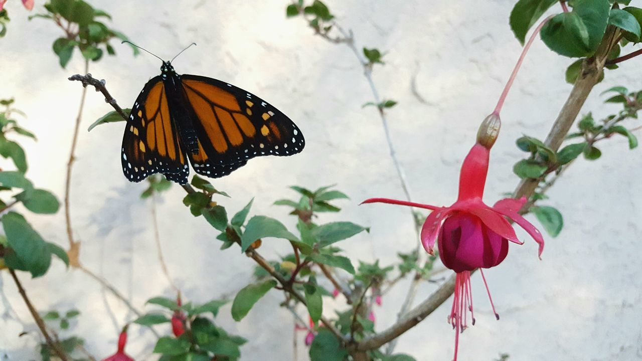 Focus On Foreground Butterfly - Insect Insect One Animal Flower Beauty In Nature Close-up Plant Nature Animal Wildlife Animal Themes Fragility Freshness No People Outdoors Pollination Day Flower Head Fuschia Monarch Butterfly FuschiaPinkFlowers In My Backyard
