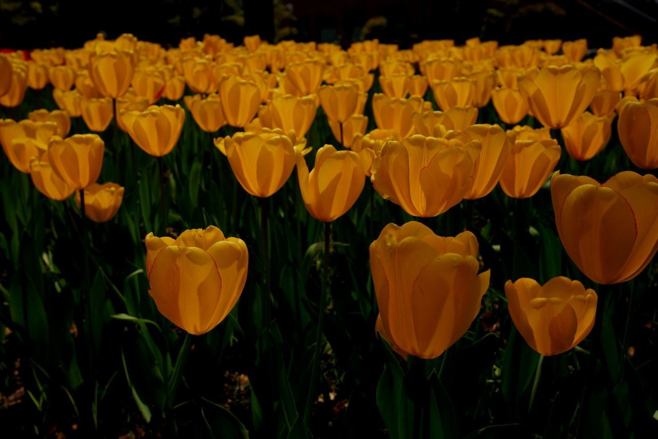 Scenic View Of Yellow Tulips Looming In Park