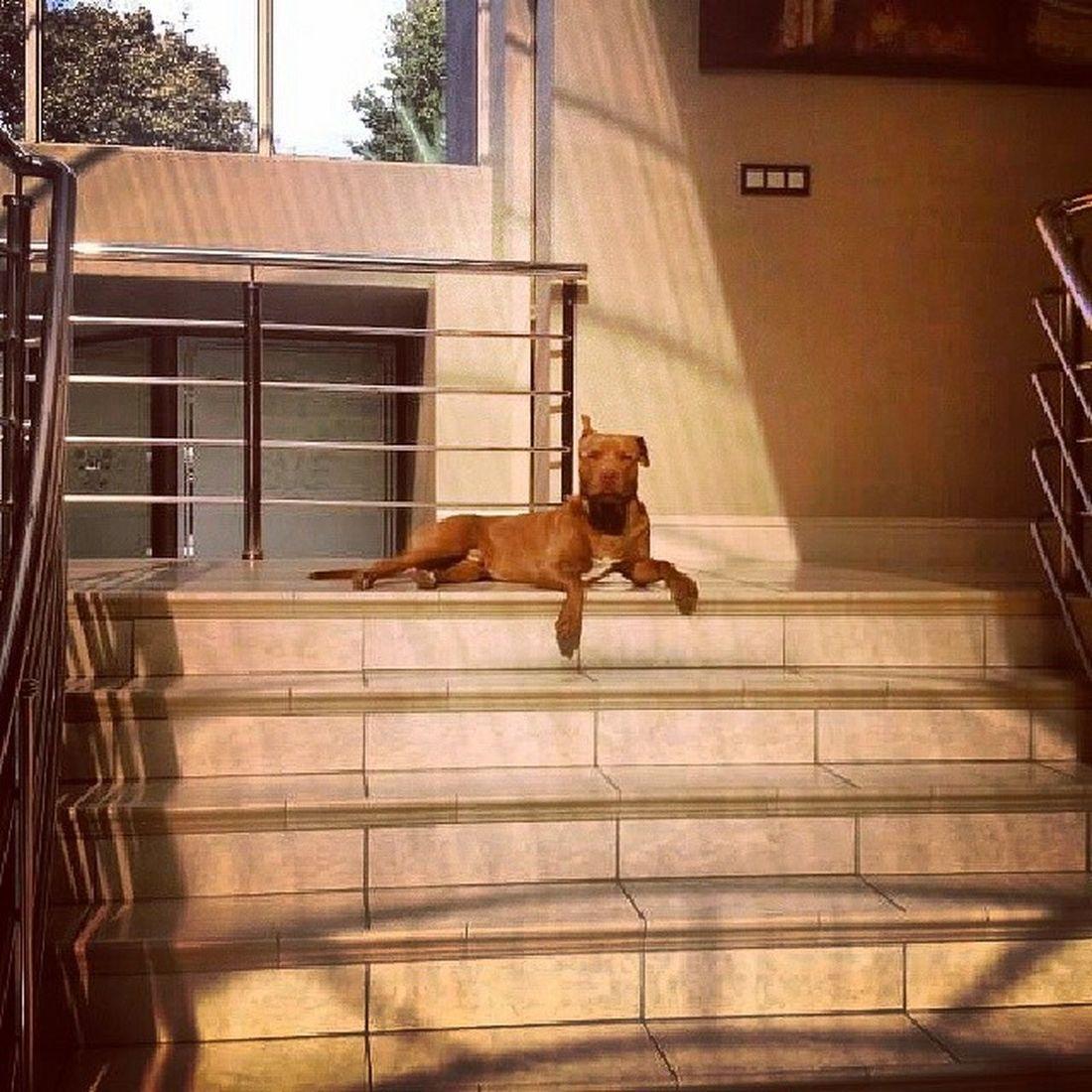 King Levi. Whosetheboss Pitbull Rednose  doyoueven dog???:/