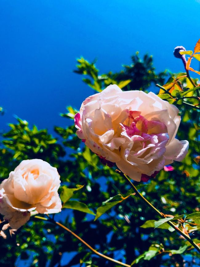Flower Petal Fragility Beauty In Nature Nature Flower Head Plant Freshness Growth Blooming Rose - Flower Focus On Foreground No People Day Outdoors Close-up Pink Color Springtime Sky