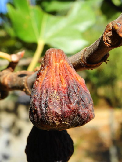 Close-up Day Fig Fig Fruit Fig Tree Focus On Foreground Freshness Fruit Healthy Fruit Nature No People Outdoors