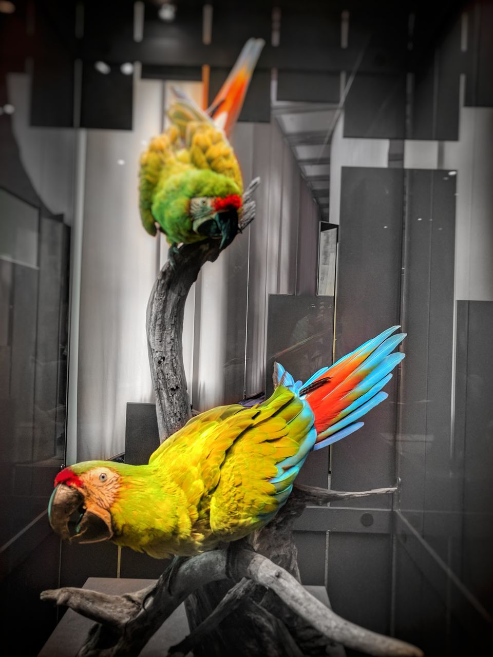 bird, parrot, multi colored, no people, animal themes, feather, yellow, domestic animals, indoors, close-up, day, perching, mammal