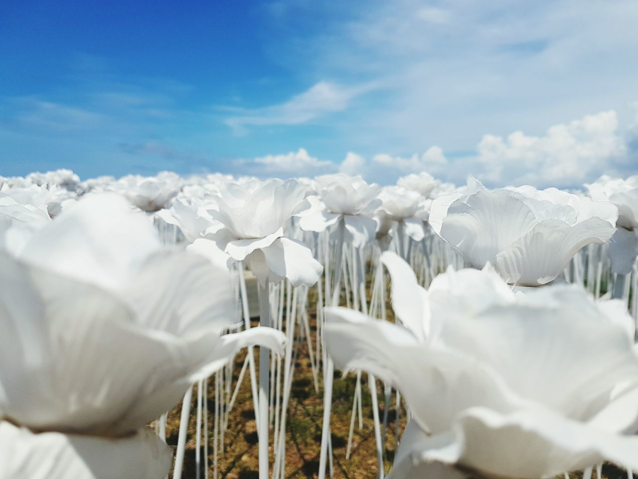 These paper roses seem to touch the sky. So fitting- just like you and I. PaperRoses Paperrose Paperflower Roses Rose🌹 Roses🌹 White Flower Paper Sky Sky And Clouds Clouds Cordova Cebu Love Imitation Imitationflower Imitationlove Unrequitedlove
